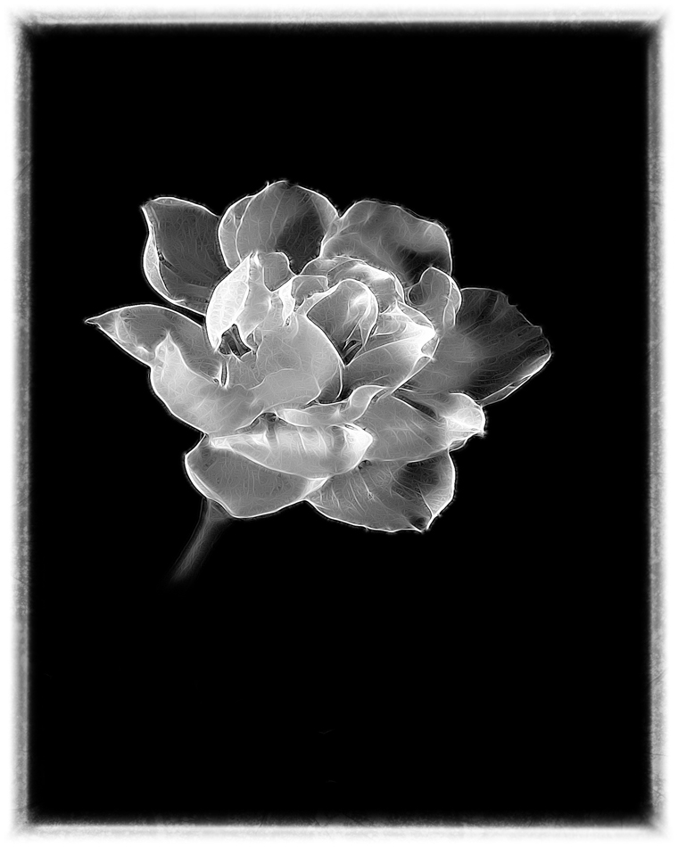White carnation on black background
