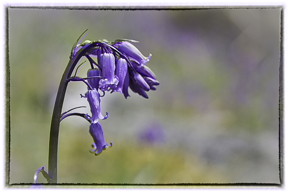 Close -up photo of a bluebell