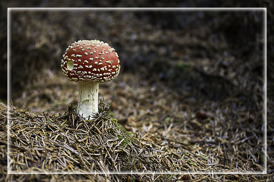 Flyagaric fungus growing on the forest floor
